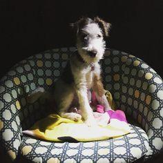 Marlene Fox terrier