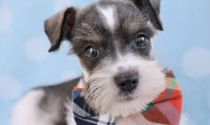 mini schnauzer Puppies for sale in South Florida at TeaCups, Puppies & Boutique