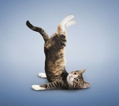 45 Best Yoga Kitty And Cats Images Cats Cat Yoga Crazy Cats