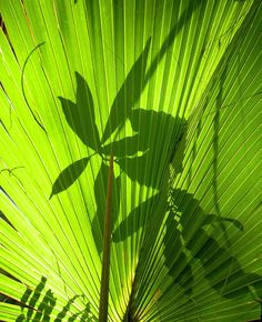 Palm Leaf Silhouette Photograph by Rosalie Scanlon - Palm Leaf Silhouette Fine Art Prints and Posters for Sale