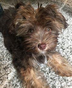 Charlie-the-Havanese puppy