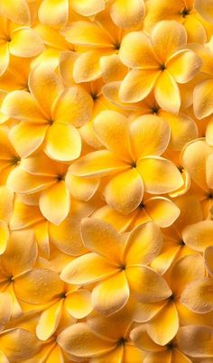 yellow.quenalbertini: Yellow flowers