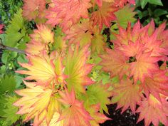 Gorgeous Japanese Maples Unique Gardens, Small Gardens, Outdoor Gardens, Japanese Tree, Japanese Maple, Japanese Gardens, Deciduous Trees, Trees And Shrubs, Exotic Flowers