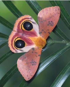 PsBattle: This moth on a leaf. Cool Insects, Flying Insects, Bugs And Insects, Beautiful Bugs, Beautiful Butterflies, Amazing Nature, Beautiful Creatures, Animals Beautiful, Cute Animals