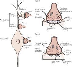 Excitatory vs. Inhibitory synapses