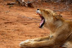How to really make the most of a short time in the bush.   lion-yawning-umlani-kelly-winkler