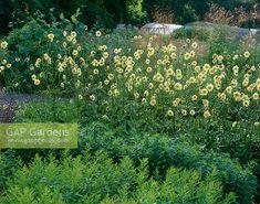 Bilderesultat for cephalaria gigantea