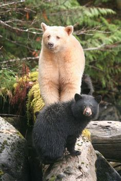 """The Kermode bear (Ursus americanus kermodei), also known as a """"spirit bear"""", is a subspecies of the North American Black Bear living in the Central and North Coast regions of British Columbia, Canada. It is noted for about 1⁄10 of their population having white or cream-coloured coats. This colour morph is due to recessive genes common in the population. They are not albinos and not any more related to polar bears or the """"blonde"""" brown bears  than other members of their species."""