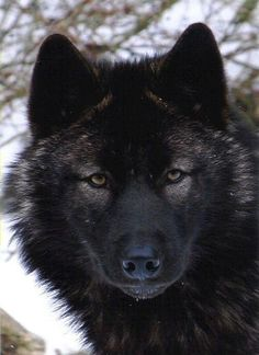 The black wolf stare!