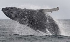 See a plethora of marine life (whales, sea lions and sharks, oh my!) near the Farallon Islands, which, for the newbies, are located 27 miles off the coast of S.F. Pictured: A whale breaches near the islands. Photo: Frederic Larson, The Chronicle