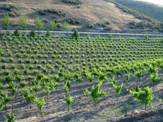 The estate vineyard produces low yields of highly concentrated, jammy, and intense Zinfandel fruit. The vines are sustainably dry farmed and head pruned on the west side Paso Robles, where the soils are rich in minerals and nutrients.    Tasting room is open Friday and Saturday from 11-5, Sunday from 12-5, and during the week by appointment @ 805-238-7872. We welcome children and pets, so bring the whole family!