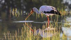 yellow billed stork... - Pinned by Mak Khalaf Animals africabirdbotswanastorkwaterwildlifeyellow-billed stork by MargittaThomann