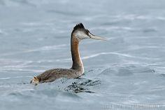 mis fotos de aves: Podiceps major Macá grande Great grebe
