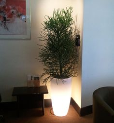Euphorbia tirucalli in illuminated planter- looks great at night time !