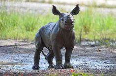 A fun pic of @zoomiami's baby black rhino Aria playing in the mud. #CubFriday Photo: Ron Magill
