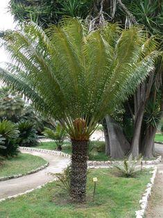 sago palm for sale cold hardy arizona palm trees moon valley nursery phoenix arizona slow. Black Bedroom Furniture Sets. Home Design Ideas