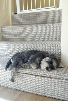 I know a little schnauzer....