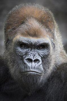 Winston | The main man in the gorilla enclosure at the San Diego Zoo Safari Park.