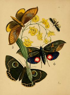 Illustration from J.O. Westwood's 'The Cabinet of Oriental Entomology', 1848.