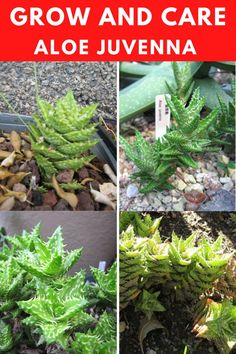 Learn how to grow and care for the aloe juvenna. Types Of Succulents, Planting Succulents, Tiger Tooth, Succulent Care, Aloe, Vegetables, Plants, Vegetable Recipes, Plant