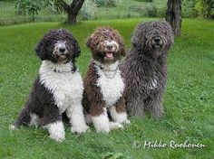 Cape Shore Water Dog Breed