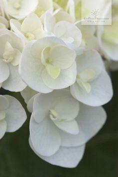 Endlose Blütenpracht vom Mai bis zum Frost - Die Endless Summer® 'The Bride'.