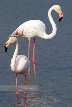 Pink Flamingos, Camargue, France @}-,-;—
