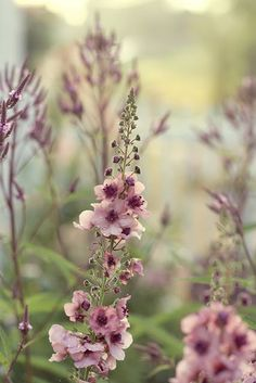 Verbascum...dreams of spring and summer in an old fashioned country garden