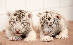 White Bengal tiger cubs, Xantus Janos Zoo of Gyor, Hungary       White Bengal tiger cubs, who were born on January 19, 2015, are pictured in the zoo on February 19.