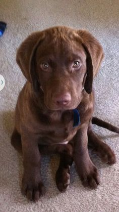 Chesapeake Bay Retriever omg this must be part of Xavier!!