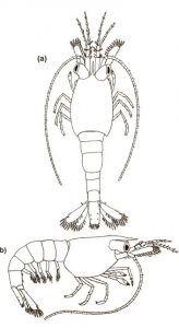 Neocaridina shrimp Carapace on 3d stage