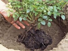 Rose Garden How to Plant Rose Bushes - Photo: Alison Miksch / Getty Images - Roses can use extra care when you first plant them. These tips for transplanting or planting roses will get them off to a great start. Garden Shrubs, Garden Landscaping, Landscaping Ideas, Landscaping Software, Patio Ideas, Planter Des Roses, Urban Gardening Berlin, Transplanting Roses, Vegetable Garden