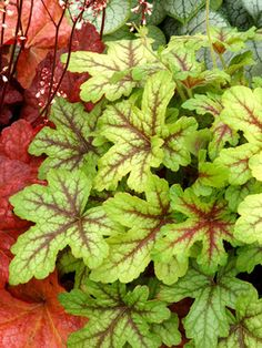 Heucherella 'Alabama Sunrise' (Foamy Bells) (partial or full shade; Coral Bells Heuchera, Plants For Hanging Baskets, Shade Garden Plants, Small White Flowers, Pretty Flowers, Plant Guide, Foliage Plants, Front Yard Landscaping, Container Plants