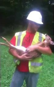 This Man Tries To Put Down This Baby Deer. The Fawns Reaction is Priceless
