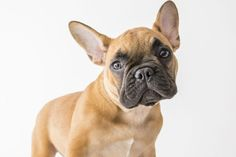 The Labrador is soon to loose the top dog crown of Britain to The French Bulldog  The French Bulldog, a breed favoured by many celebrities, is set to top the most popular dog charts in 2018.    Its going to