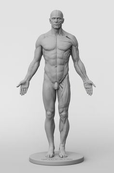 The first in a collection of affordable anatomy figures for artists of all genres has arrived. Figure Reference, Body Reference, Anatomy Reference, Art Reference, Anatomy Sketches, Anatomy Drawing, Anatomy Art, Body Anatomy, Human Anatomy