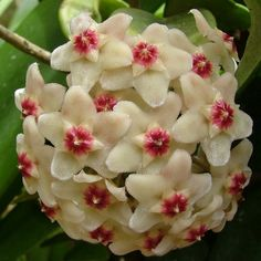 Lady H is propagating her flowers today... here is a great site for propagating Hoya Pubicalyx