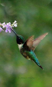 Hummingbird, photo by Joni S Weber