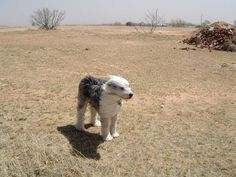 Lindy the dog in 60 mph wind in Texas Panhandle. Tenacity defined.