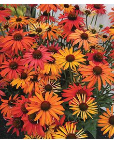 Echinacea, Hot Summer lifecycle: Perennial Zone: Sun: Full Sun Height: inches Spread: inches Uses: Beds, Borders, Container, Cut Flowers Bloom Season: Summer Flowers Perennials, Planting Flowers, Fall Perennials, Yellow Plants, Full Sun Plants, Pot Plante, All Nature, Summer Garden, Sun Garden