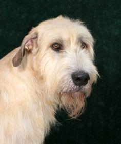 Irish Wolf Hound - love these dogs       Best of Breeds