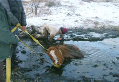 """Horse rescued after falling through ice in North Valley - I am NOT a fan of the methods that were used to attempt this rescue - going into the water and under the horse in icy water.  PLEASE - get a Nicopolous Needle!!!!!!!!!!!!  Glad the horse was """"saved""""/"""