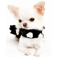 Chihuahua Care - 5 Important Issues Every Owner Should Know - Dog Pets Zone Chihuahua Puppies, Baby Puppies, Cute Puppies, Cute Dogs, Dogs And Puppies, Chihuahuas, Doggies, Teacup Chihuahua, Teacup Puppies