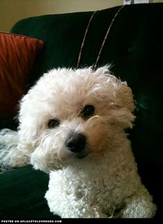 Chelsey the Bichon Frisee • from APlaceToLoveDogs.com • dog dogs puppy puppies cute doggy doggies adorable funny fun silly photography