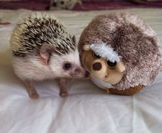 #hedgehog friends