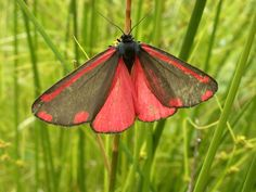 pics of moths   Cinnabar Moth - Tyria jacobaeae