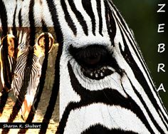 Zebra Art Africa Wildlife Digital Typography by GrayWolfGallery