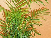 Chamaedorea, nenáročná pokojová rostlina s elegancí palmy Herbs, Flowers, Plants, Floral, Herb, Plant, Royal Icing Flowers, Florals, Flower