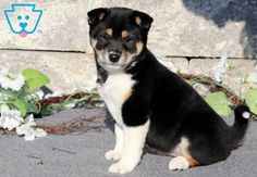 This Shiba Inu puppy is a sweet girl who loves everyone she meets! Siberian Husky Puppies, Husky Puppy, Siberian Huskies, Puppies For Sale, Cute Puppies, Corgi Puppies, Equine Photography, Animal Photography, Black Lab Puppies
