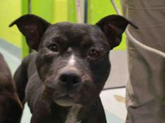 ★9/27/15 STILL THERE!★SUPER URGENT 9/15/15★Brooklyn Center RUSHMORE – A1051564  ***DOH HOLD 09/15/15***  FEMALE, BLACK / WHITE, AM PIT BULL TER MIX, 3 yrs STRAY – STRAY WAIT, HOLD FOR DOH-NHB Reason STRAY Intake condition UNSPECIFIE Intake Date 09/15/2015